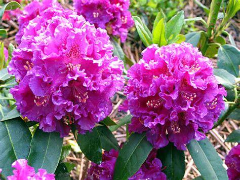 caprizzio bloem my new rhododendron and azalea hybrids 2002