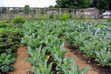 The Vegetable Garden And The Season's First Harvest-the