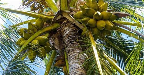 kelapa tumbuhan yang kaya akan manfaat heqris workspace