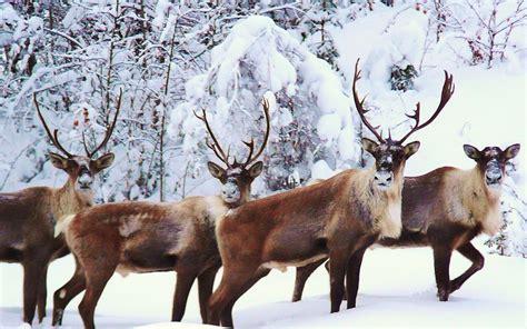 Reindeer Wallpaper Hd by Reindeer Wallpaper Desktop Labzada Wallpaper
