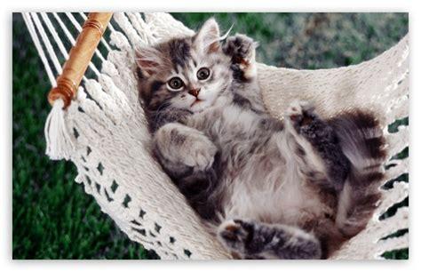 Kitten In A Hammock by Kitten Sitting In A Hammock 4k Hd Desktop Wallpaper For 4k