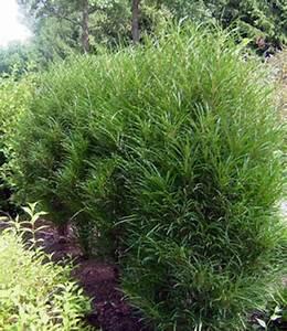 Säulen Pflanzen Winterhart : farnbl ttrige s ulen hecke fine line 1a heckenpflanzen baldur garten ~ Frokenaadalensverden.com Haus und Dekorationen