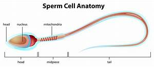 Understanding Sperm Production