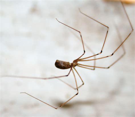 araignee maison ps j ai fait sa a 8 ans avec ce type d araign 233 es http www duanrevig insectes arachnides