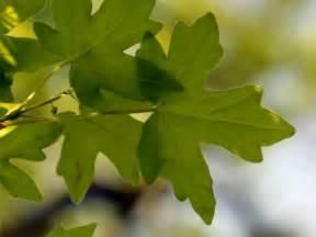 a photo album ahornbäume die ahorn arten der ahornbaum
