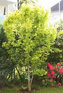 Schnell Wachsende Laubbäume Für Den Garten : schnellwachsende b ume ~ Michelbontemps.com Haus und Dekorationen