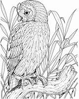Owl Coloring Printable Perched Owls Adults Supercoloring Birds Coloringpages101 Colouring Realistic Bird Clipart Adult Sheets Cactus Spotted Mexican Getdrawings Drawing sketch template
