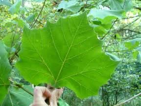 Sycamore Tree Leaf Identification