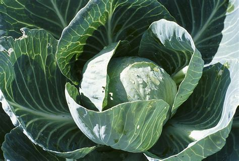 Planting, Growing, And Harvesting Cabbage