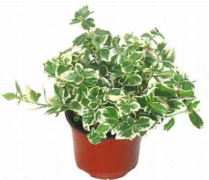 Immergrüne Pflanzen Winterhart : euonymus furtunei 39 emerald gaiety 39 immergr ne ~ A.2002-acura-tl-radio.info Haus und Dekorationen