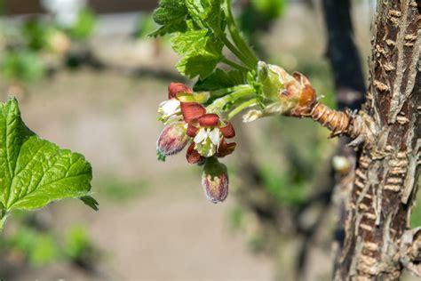 Josta (Ribes × nidigrolaria)