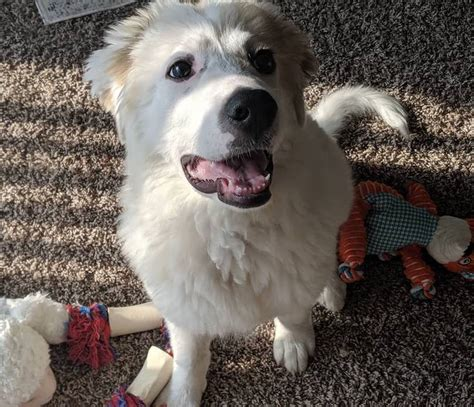 Great Pyrenees Breed Information Guide: Facts And Pictures ...