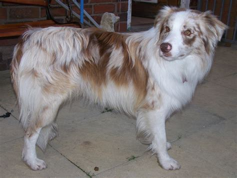 border collie blue merle  sale