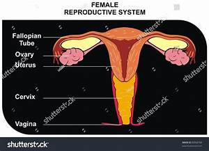 Female Reproductive System Including Fallopian Tube Stock