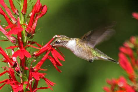 humming bird plants a match made in a wetland cardinal flower and the ruby throated hummingbird fiddlehead creek