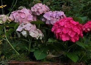Hortensien überwintern Im Garten : gartendekoration 01 hortensien zur deko im sp tsommer ~ Frokenaadalensverden.com Haus und Dekorationen