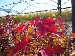 Ahorn Rote Blätter : die besten 25 rote bl tter ideen auf pinterest herbstlaub herbstb ume und jahreszeiten ~ Eleganceandgraceweddings.com Haus und Dekorationen