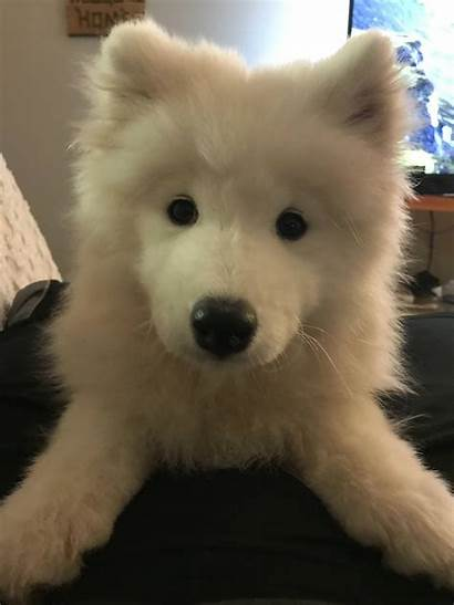 Samoyed Puppy Samoyeds Clouds Reblog