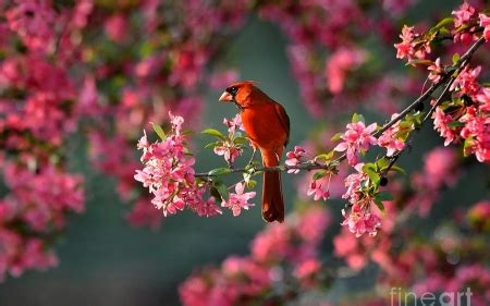 cardinal birds animals background wallpapers