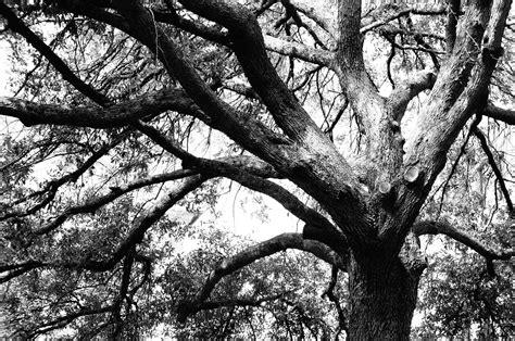 Black and white tree public domain picture 1 million