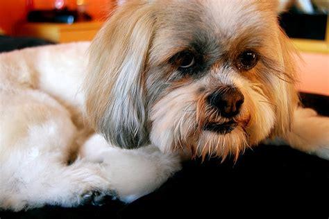 lhasa apso hair cut flickr sackerman hairstyles ideas