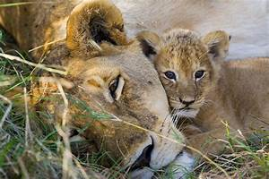 Animal Families: Lion Cub and Mother - Sierra Magazine ...