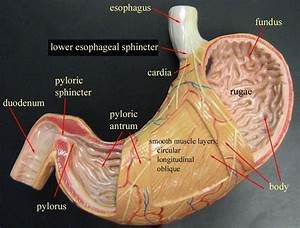 Stomach Model  Physiology