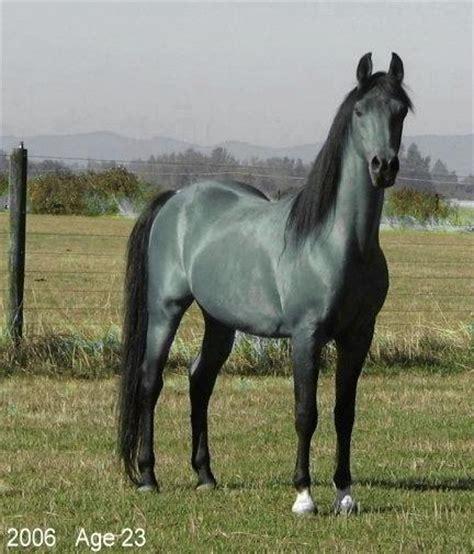 horse roan horses colored rare bay gray deviantart shapeshifters majestic morgan wild markings yahoo