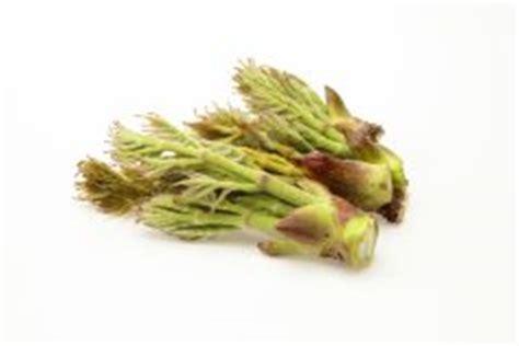 liguster stecklinge ziehen oleander 252 ber stecklinge vermehren 187 so gelingt s
