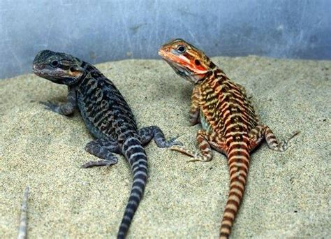 what kind of heat l for bearded dragon are all bearded dragons the same do they all have the