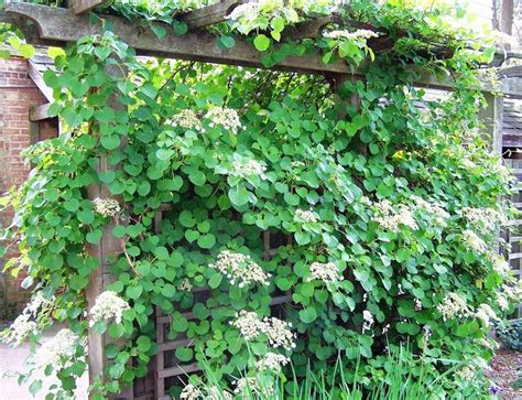 growing climbers for fences climbing hydrangeas are vines for the shade garden