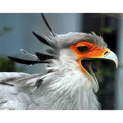 ShukerNature: SEEKING SECRETARY BIRDS IN SOUTHEAST ASIA?