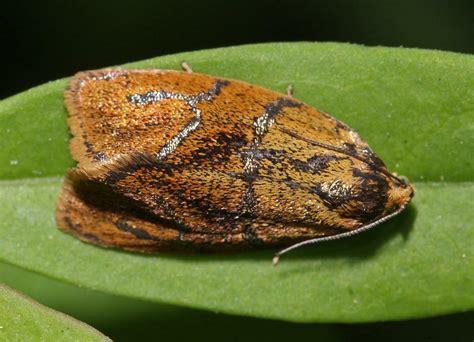 http://www.naturspaziergang.de/Nachtfalter/An_gro/Ptycholoma_lecheana.htm