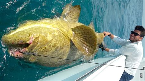 grouper goliath monster catching offshore