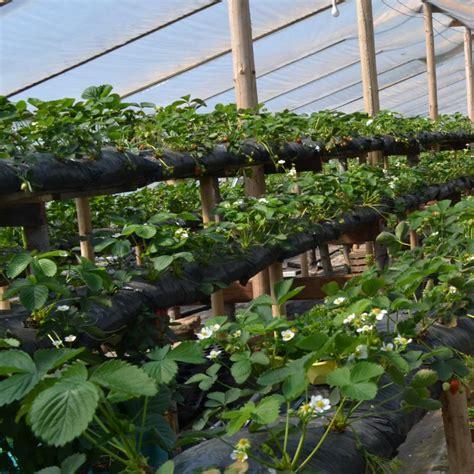 Zemeņu šķirnes plēves seguma siltumnīcā | Fruittech center