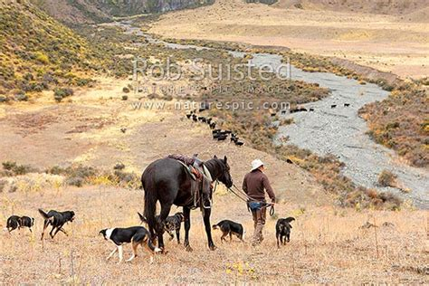 andy mclachlan head stockman  horse dogs  cattle