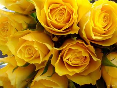 Yellow Roses Wallpapers Depot