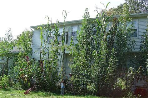 Great Year For Giant Corn • Helpfulgardener.com Gardening