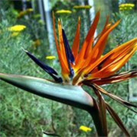 fiore sterlizia strelitzia piante da giardino curare la strelitzia