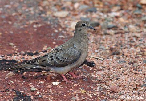 mourning dove south dakota birds and birding