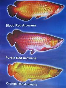 Types Of Arowana- Blood Red Arowana, Purple Red Arowana ...