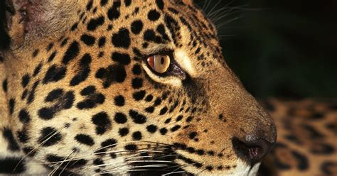 How Are Jaguars Endangered by Why Are Jaguars Endangered Animals Ehow Uk