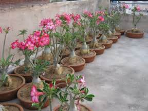 Bonsai Desert Rose Plant