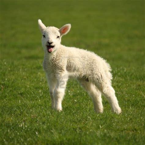 cuisiner de l agneau agneau