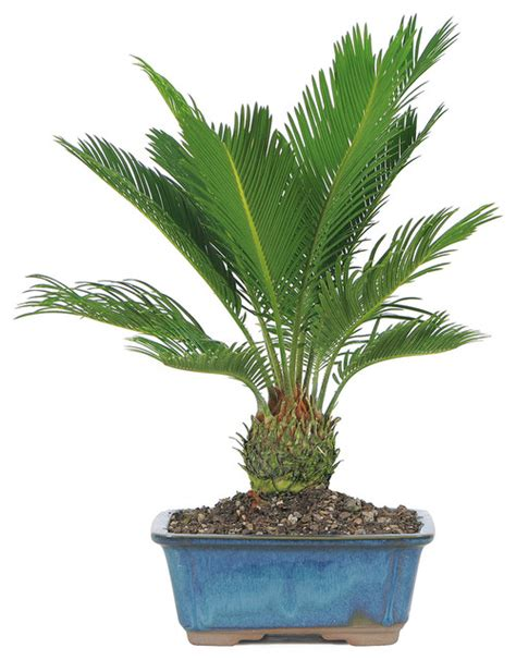 mini pendant lighting for kitchen island sago palm bonsai tree plants by brussel 39 s bonsai