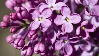 Lilac Desktop Backgrounds Picserio Hipwallpaper Wallpapers Code