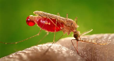 images for mosquito good luck outsmarting a mosquito science news