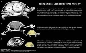 Infographics  U2013 Box Turtle Connection