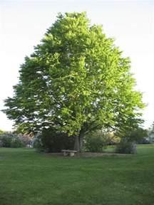 how to make a house plan katsura tree is a great four season interest shade tree