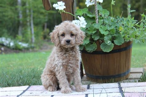 1000 ideas about miniature cockapoo on pinterest red